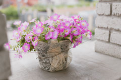 Pelargonium in the pot Stock Images