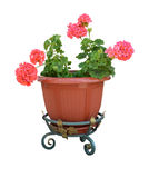 Pelargonium in a pot flowerpot. Isolated on white background royalty free stock photos