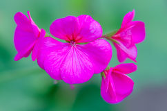 Pelargonium Prinses Irene. In bloom stock photos