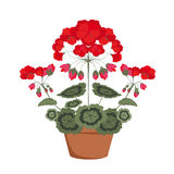Pelargonium with red flowers Stock Image