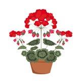 Pelargonium with red flowers Stock Image