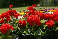 Pelargonium, red geranium. Royalty Free Stock Images