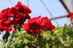 Pelargonium red Royalty Free Stock Images