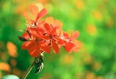Pelargonium rojo Fotos de archivo libres de regalías