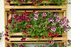 Pelargonium Pelargonium in scatole di legno sulla parete immagini stock libere da diritti