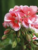 Pelargonium ?Schone Helena? 3 Fotografia Stock