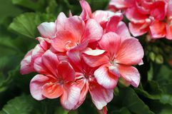 Pelargonium Schone Helena. Common Name: Zonal Geranium Royalty Free Stock Images