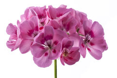 Pelargonium. Single pink pelargonium on white background royalty free stock photo
