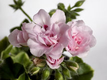 Pelargonium szyfon zdjęcie stock
