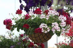Pelargonium in to the hanging basket Royalty Free Stock Images