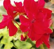 Pelargonium vermelho Fotos de Stock Royalty Free