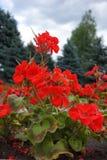 Pelargonium vermelho de florescência contra o céu fotos de stock royalty free
