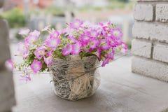 Pelargonium w garnku Obrazy Stock