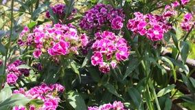 Pelargonium. The pelargonium was filmed in Bulgaria Jambol stock video