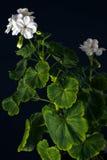 Pelargonium White Stock Photo