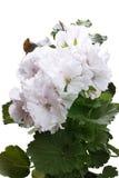 Pelargonium with white flowers Royalty Free Stock Images
