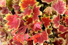Pelargonium x hortorum `Vancouver Centennial`, Fish Geranium, Horseshoe Geranium Stock Photos