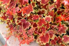 Pelargonium x hortorum `Vancouver Centennial`, Fish Geranium, Horseshoe Geranium Stock Image