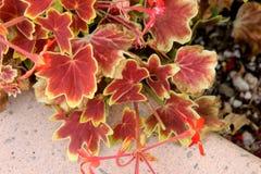 Pelargonium x hortorum `Vancouver Centennial`, Fish Geranium, Horseshoe Geranium Stock Photography
