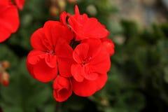 Pelargonium zonale immagini stock libere da diritti