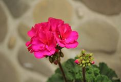 Pelargonium zonale fotografia stock libera da diritti