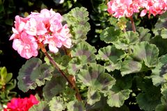 Pelargonium zonale `Moonlight Loki`, Zonal Geranium Moonlight Loki. Compact cultivar with wavy leaves with reddish brown semicircular patch and large salmon Royalty Free Stock Image