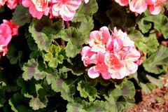 Pelargonium zonale `Moonlight Loki`, Zonal Geranium Moonlight Loki. Compact cultivar with wavy leaves with reddish brown semicircular patch and large salmon Stock Photography