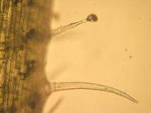 Pelargonium zonale - okulistyczna mikroskopia obrazy royalty free