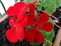 Pelargonium zonale rosso - fiore variopinto fotografia stock