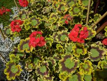 Pelargoniums obrazy stock