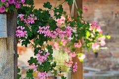 Pelargoniums Zdjęcie Stock