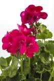 Pelargonpelargonia Royaltyfria Bilder