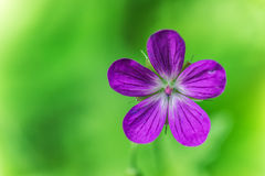 Pelargonpratense Royaltyfria Bilder