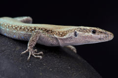 Pelasgian岩石蜥蜴, Anatololacerta pelasgiana 免版税库存图片