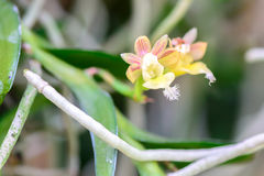 Pelatantheria bicuspidata, Rolfe ex Downie, Orchid flower Stock Image