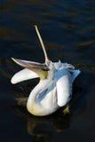 Pelícano Fotos de archivo libres de regalías