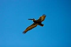 Pelícano de Brown en vuelo Foto de archivo libre de regalías