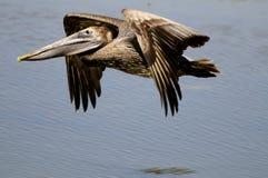 Pelícano de Brown en vuelo Imagenes de archivo