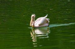 Pelícano en agua Imagen de archivo libre de regalías