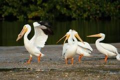 Pelícanos blancos en Ding Darling National Wildlife Refuge Imágenes de archivo libres de regalías