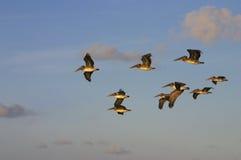 Pelícanos en la salida del sol Fotografía de archivo