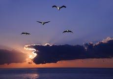 Pelícanos en la salida del sol Imágenes de archivo libres de regalías