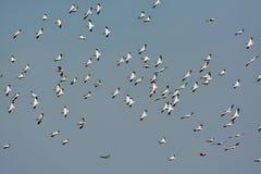 Pelícanos que vuelan contra el cielo azul Fotos de archivo libres de regalías