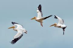 Pelícanos que vuelan contra el cielo azul Imagen de archivo libre de regalías