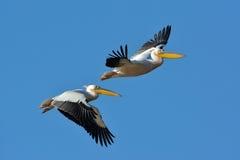 Pelícanos que vuelan contra el cielo azul Imágenes de archivo libres de regalías