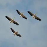 Pelícanos que vuelan contra el cielo azul (onocrotalus del pelecanus) Imagen de archivo libre de regalías