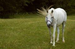 Película de la cola - caballo árabe Fotografía de archivo libre de regalías