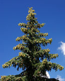 Pele-árvore Foto de Stock Royalty Free