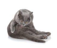 Pele cinzenta da limpeza do gato Foto de Stock