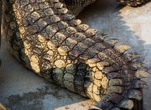 Pele da água salgada do crocodilo Alugueres Foto de Stock Royalty Free